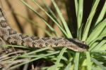 Lower California rattlesnake