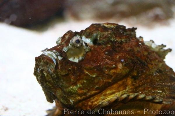 Estuarine stonefish