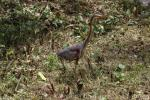 Asian purple heron