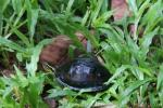 South-east Asian box turtle