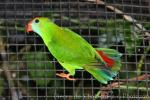 Philippine hanging-parrot