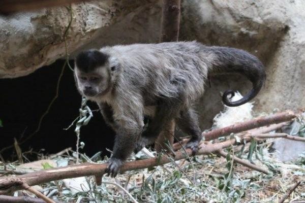 Guianan brown capuchin