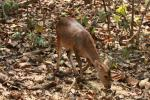 Indian hog deer