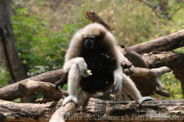 Eastern hoolock gibbon