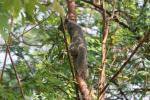Phayre's squirrel