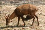 Indochinese sambar deer