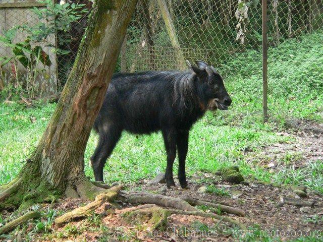 Sumatran serow *