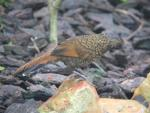 Scaly laughing-thrush *
