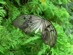 Grey rice paper butterfly