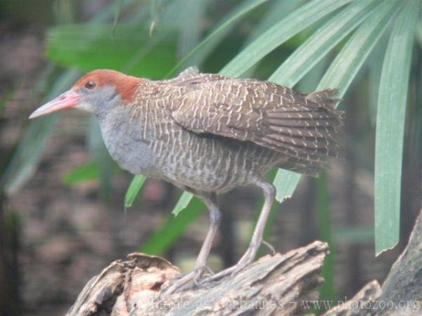 Slaty-breasted rail *