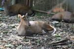 Fea's barking deer