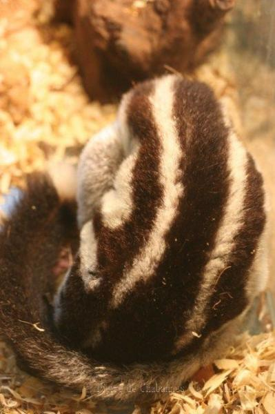Torresian striped possum *