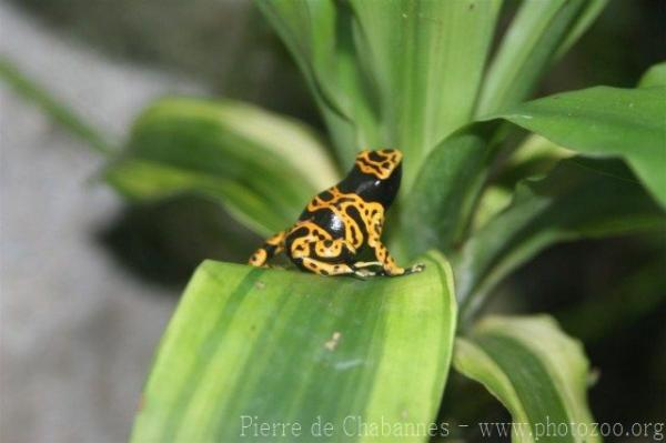 Yellow-headed poison-dart frog