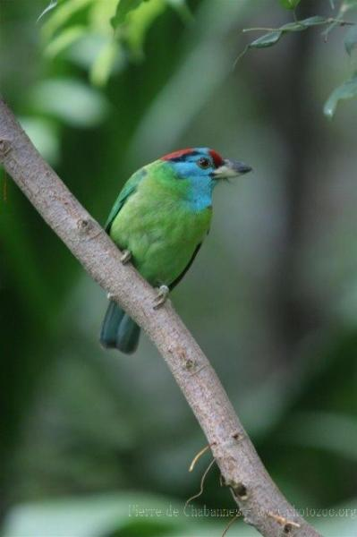 Blue-throated barbet *