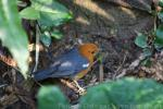 Orange-headed thrush *