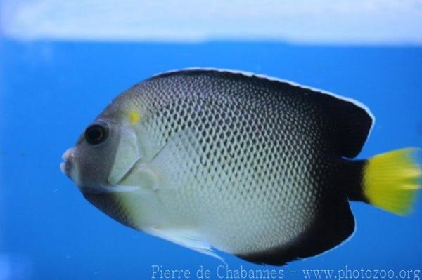 Yellowtail angelfish