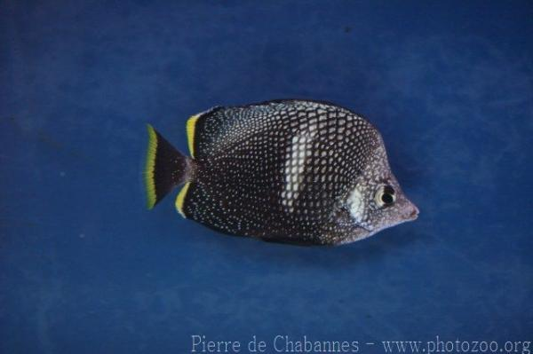 Wrought-iron butterflyfish