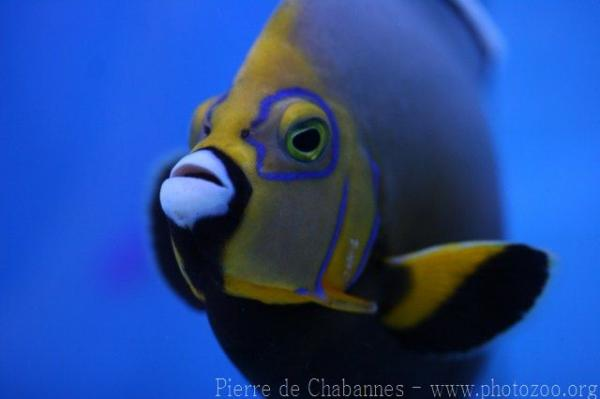 Spectacled angelfish