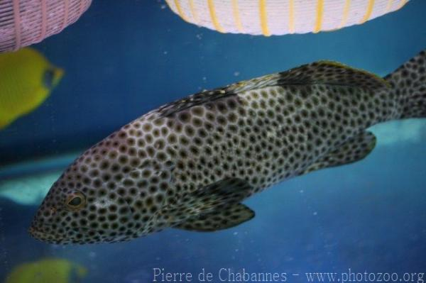 Highfin grouper