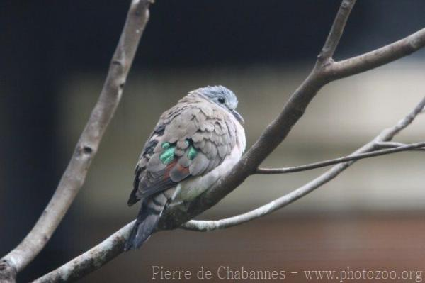 Emerald-spotted wood-dove *