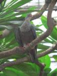 Spotted imperial-pigeon *