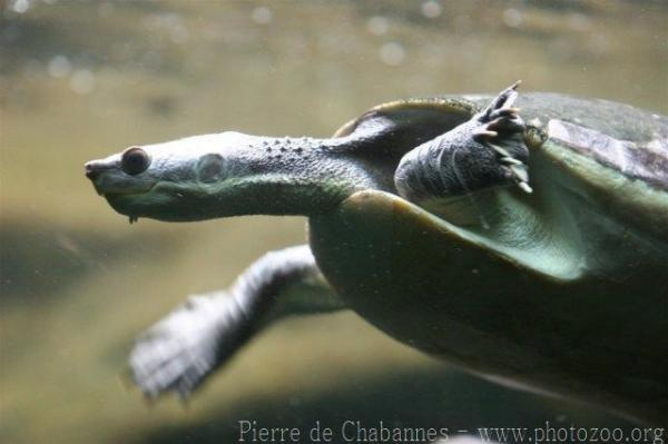 Western New Guinea stream turtle *