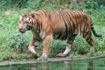 Mainland (Bengal) tiger *