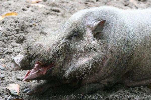 Sumatran bearded pig *