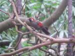 Red-tailed laughingthrush *