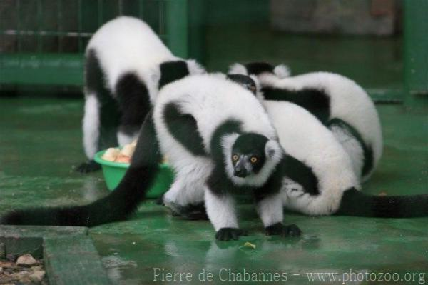 Black-and-white ruffled lemur