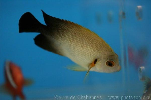 Pearlscale angelfish