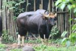 South-East Asian gaur