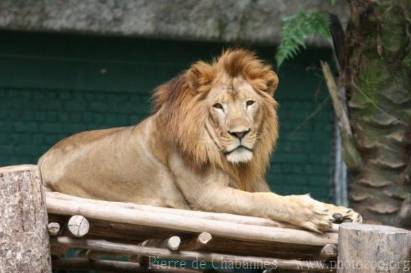 West-African (Asian) lion *