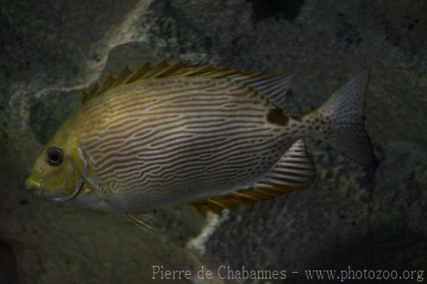 Bronze-lined spinefoot