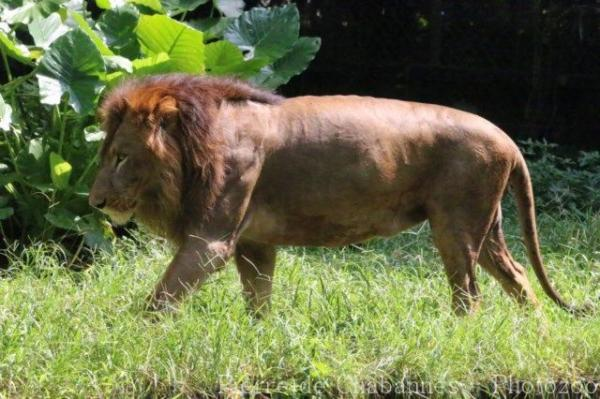 East-African (Nubian) lion