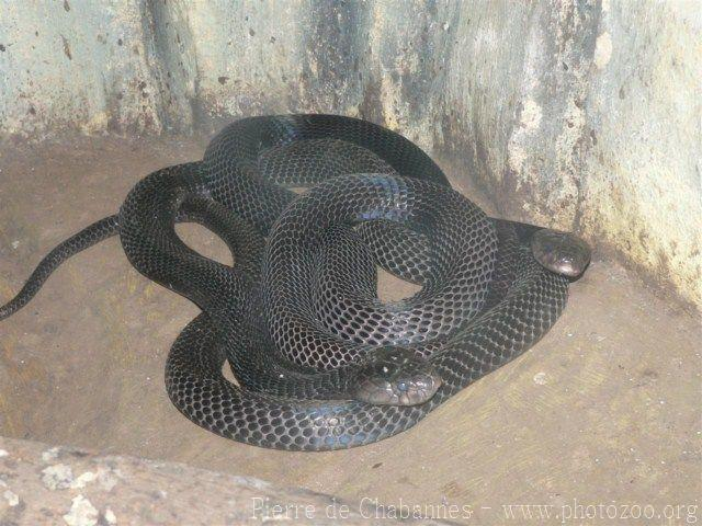 Equatorial spitting cobra